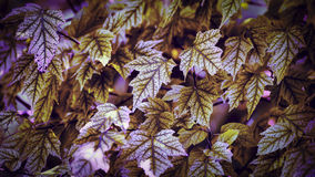 Feuilles de sycomore Photos stock