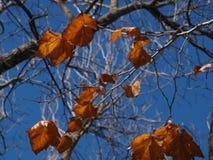 Feuilles de sycomore contre un ciel bleu Photographie stock libre de droits