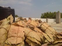 feuilles de tabac Image stock