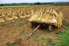 Feuilles de tabac sur le chariot dans le domaine d'usine à la récolte Photo stock