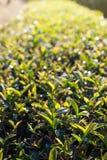 Feuilles de thé à la lumière du soleil de matin photo libre de droits