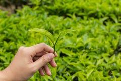Feuilles de thé à la plantation de thé Image stock