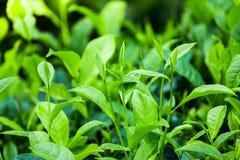 Feuilles de thé à une plantation dans les faisceaux de la lumière du soleil image libre de droits