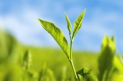Feuilles de thé Photographie stock libre de droits