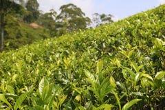 Feuilles de thé Photos libres de droits