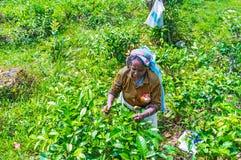 Feuilles de thé de cueillette dans Demodara Photo libre de droits