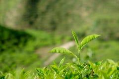 Feuilles de thé dans des plantations de thé chez Cameron Highlands Image libre de droits