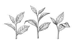 Feuilles de thé Dans le vieil arbre près de la frontière de sécurité ont élevé les branchements neufs images libres de droits