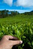 Feuilles de thé de cueillette Image libre de droits