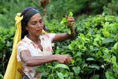 Feuilles de thé de cueillette Photographie stock libre de droits