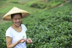 Feuilles de thé de cueillette de femme Photo stock