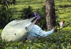 Feuilles de thé de cueillette de femme Photographie stock libre de droits