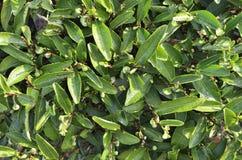 Feuilles de thé de roche de Wuyi Photos stock