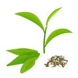 Feuilles de thé et brindille vertes, thé fermenté, d'isolement sur le fond blanc Photo stock
