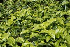 Feuilles de thé fermées- dans la plantation de thé en Cameron Highlands, Malaisie Photo stock