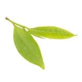Feuilles de thé fraîches d'isolement sur le fond blanc Photos stock