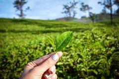 Feuilles de thé fraîches sur des plantations images stock