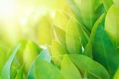 Feuilles de thé sur des poutres de plantation au soleil Buisson frais de thé vert photos libres de droits
