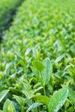 Feuilles de thé vertes Image libre de droits