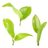 Feuilles de thé vertes Image stock