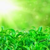 Feuilles de thé vertes fraîches avec des faisceaux du soleil Image stock