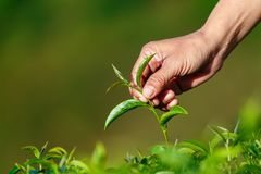 Feuilles de thé vertes de main dans une plantation de thé image stock