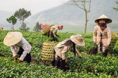 Feuilles de thé vietnamiennes de cueillette de femme dans la plantation de Sapa image stock