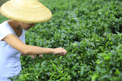 Feuilles de thé de cueillette de femme Images libres de droits