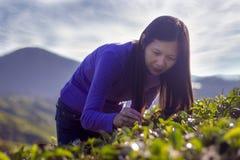 Feuilles de thé heureuses de cueillette Images stock