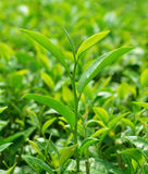 Feuilles de thé vertes Photos libres de droits
