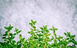 Feuilles de thym de citron de plan rapproché du jardin d'herbes aromatiques Citriodo de thymus Photographie stock libre de droits