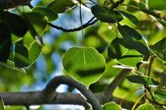 Feuilles de tremble de vert de Sunny Sage image stock