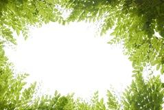 Feuilles de vert Photographie stock libre de droits