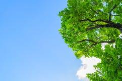 Feuilles de vert image libre de droits