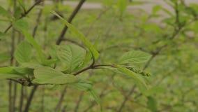 Feuilles de vert accrochant sur un arbre banque de vidéos