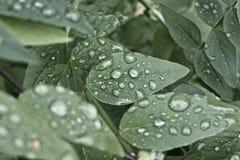 Feuilles de vert avec des baisses de pluie Photos libres de droits