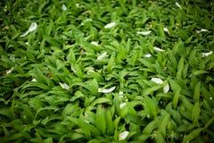 Feuilles de vert avec des pétales de fleur blanche Image libre de droits