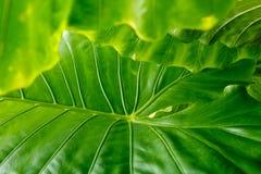 Feuilles de vert avec des veines Photo stock