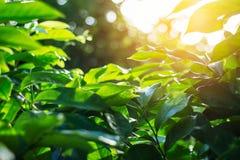 Feuilles de vert avec la régénération au soleil Photos stock