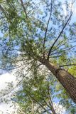 Feuilles de vert de buisson de vue d'angle faible et branches de pin Photos libres de droits