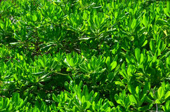 Feuilles de vert comme fond Images stock