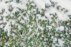 Feuilles de vert couvertes de neige et de glace, arbre de neige, modèle, texture, fin  Photographie stock