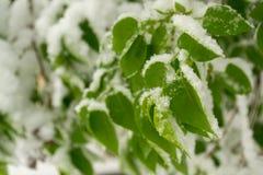 Feuilles de vert couvertes de neige Image stock