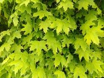 Feuilles de vert d'érable de sycomore photographie stock libre de droits