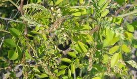 Feuilles de vert d'acacia Photo libre de droits