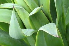 Feuilles de vert d'agave, Photo libre de droits
