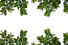Feuilles de vert d'isolement sur l'espace blanc de fond pour des messages Image stock