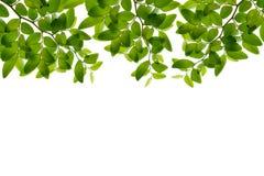 Feuilles de vert d'isolement sur l'espace blanc de fond pour la station thermale de copie Photos stock