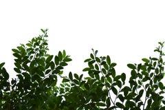 Feuilles de vert d'isolement sur l'espace blanc de fond pour le texte Photo libre de droits