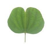 Feuilles de vert, d'isolement sur le fond blanc Photo stock